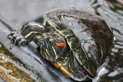 Best Pet Turtles Painted-Eared Turtle