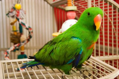Green pet bird in a cage