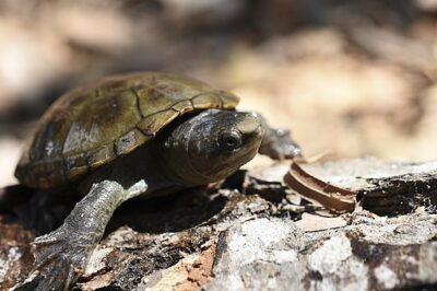 Best Pet Turtles Mud Turtle