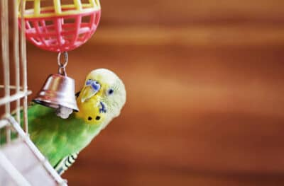 Pet parakeet bird playing with a bell