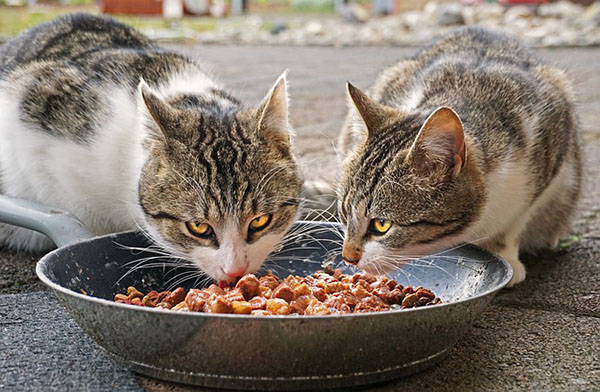 How long can cats go without eating food