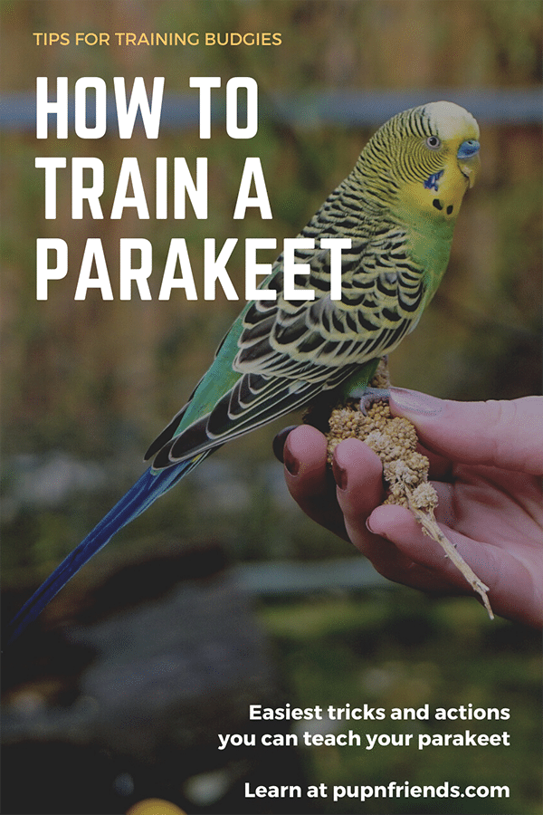 How to Train a Parakeet #pupnfriends