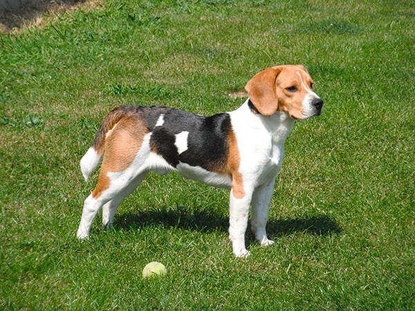 Beagle Family Dog