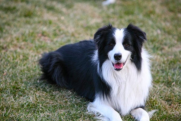 Best Dog Breeds for Families, Collie