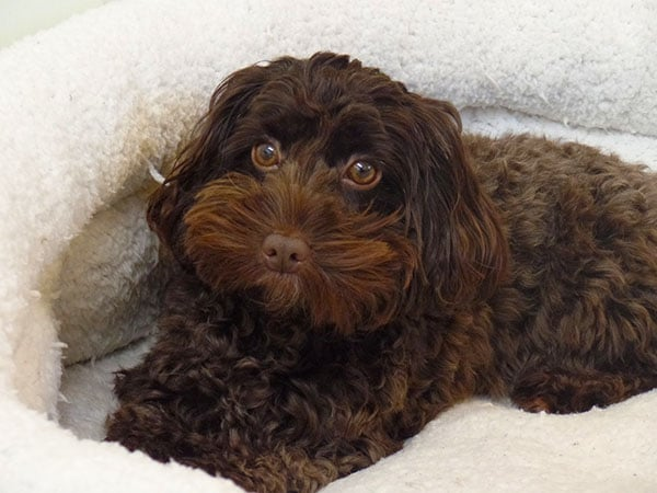 Cockapoo Family Dog Breed