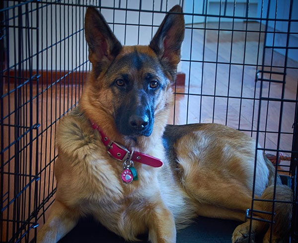German Shepard in a kennel
