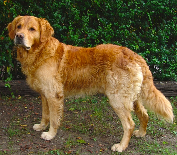Great Family Dog, Golden Retriever