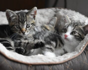 2 kittens in a cat bed, when do cats stop growing