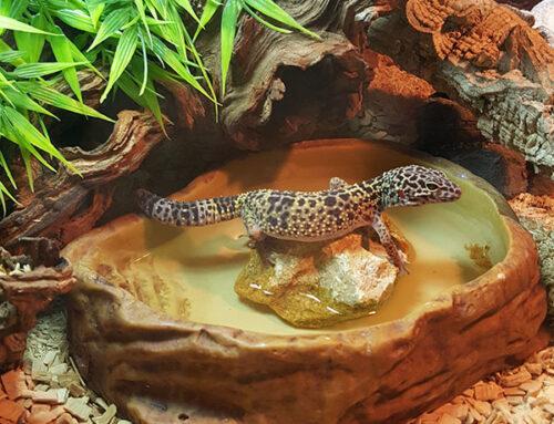How to Set Up a Leopard Gecko Habitat