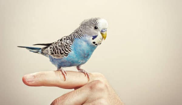 How to train a budgie