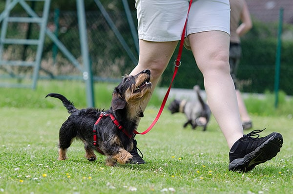 Tips for walking a dog on a leash