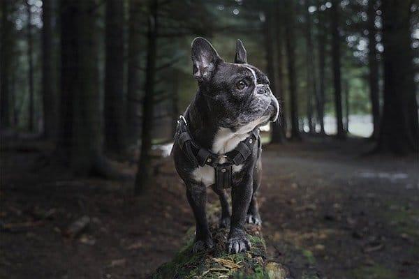 French bulldog care tips