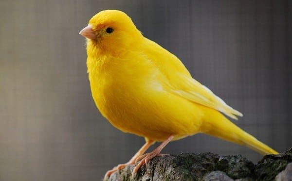 Canaries make great pets for beginners