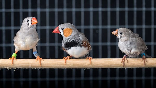 Finches on a stick in a cage