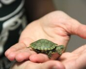 How long do pet turtles live