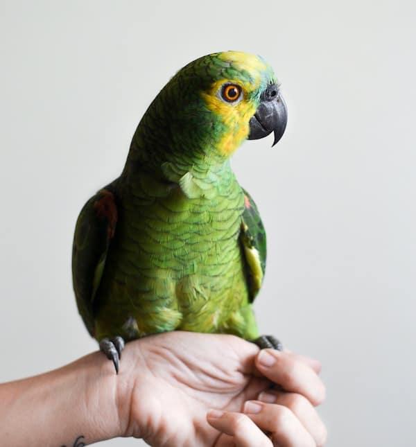 How Long do Pet Birds Live?