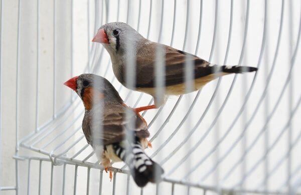 Pet birds in a cage