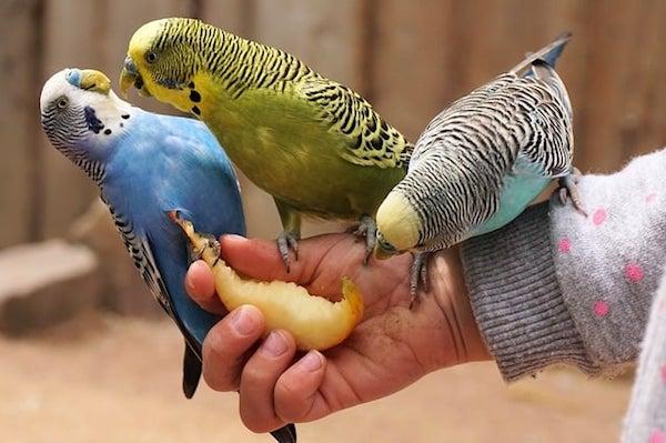 Pet birds eating food