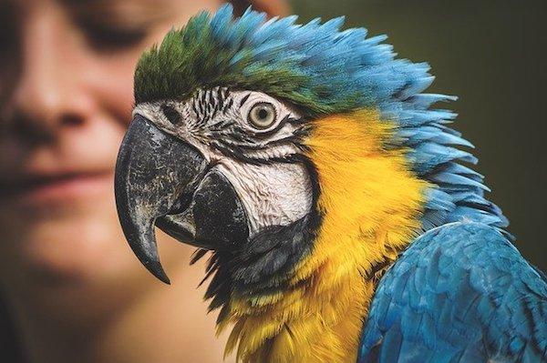 Pet bird life span