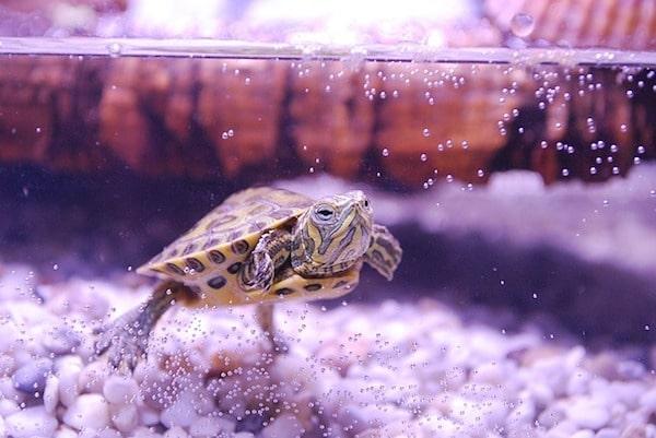 Pet turtle in an aquarium