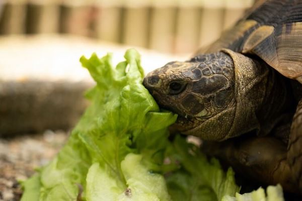 What does a pet turtle eat?