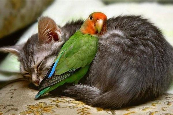 Can you have a pet bird with cats